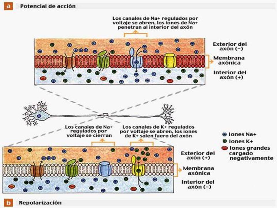 [El esquema muestra los canales iónicos involucrados en la generación de un potencial de acción en un axón.